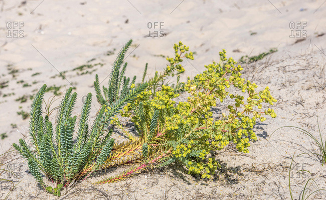 France, Gironde, Arcachon Bay, sea spurge on the coastal dune