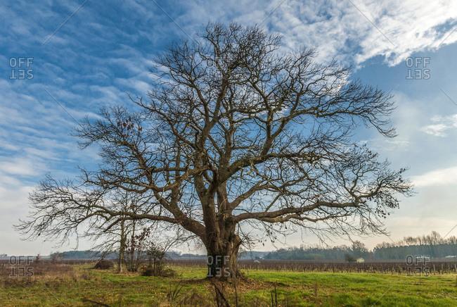 France, Gironde, Haute-Lande girondine, Hostens, old chestnut tree in the vines at Landras
