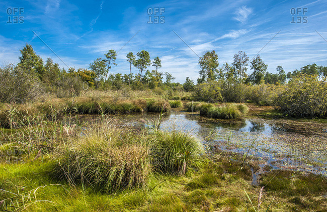 France, Gironde, Haute-Lande girondine, Hostens, lagoon edged with acuatic warbler, molinias and mariscus in the natural and sensitive site of the lagoon of Gat Mort