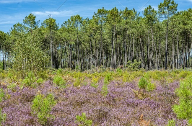France, Gironde, Haute-Lande girondine, Hostens, heather callune in bloom, pines and ferns at the end of summer in the sensitive natural site of the Gat Mort lagoons