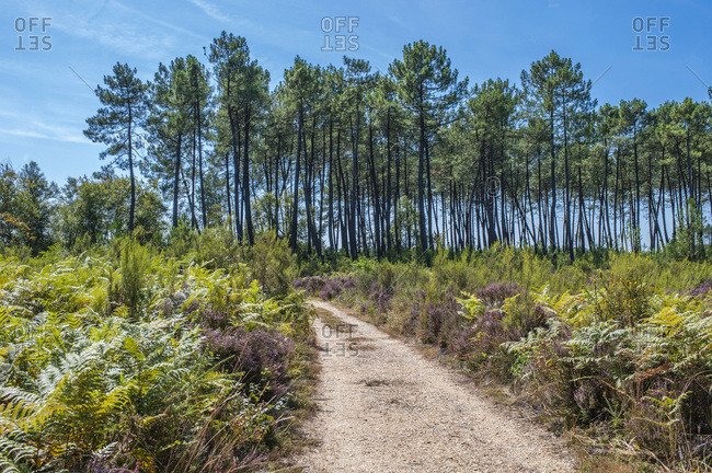 France, Gironde, Haute-Lande girondine, Hostens, forest path between ferns and pines