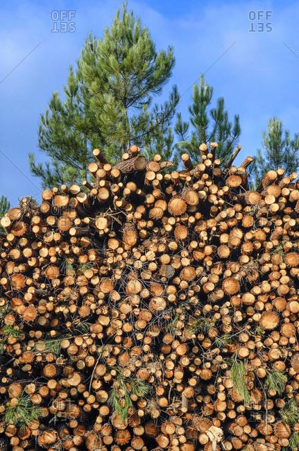 France, Gironde, Haute-Lande girondine, Hostens, bundles of wood in the pine forest