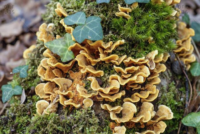 France, Gironde, Haute-Lande girondine, epyphytes over an oak trunk