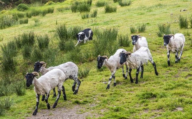 Republic of Ireland, County Kerry, Iveragh Paninsula, training of a herding dog (Border Collie), Suffolk sheeps