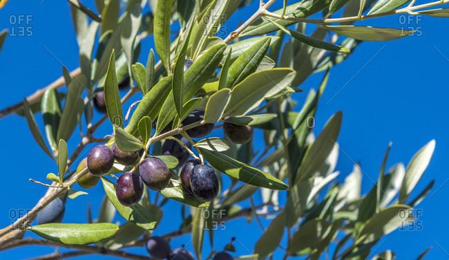 France, Provence, Vaucluse, Dentelles de Montmirail, black olives on the tree