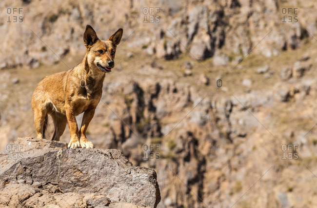 Middle East, Yemen, Center West, Jebel Harraz region (UNESCO World Heritage Tentative list), dog in the mountains (shooting 02/2007)