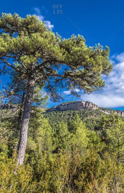 Spain, autonomous community of Castile - La Mancha, province of Cuenca, Serrania de Cuenca National park landscape, pine tree