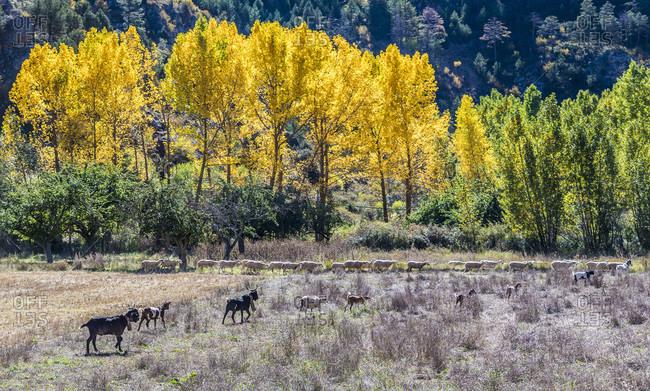 Spain, autonomous community of Aragon, Province of Teruel, Sierra de Albarracin Comarca, Sierra de Albarracin, Montes Universales National reserve, herd of sheep and goats