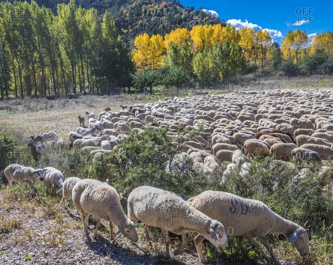 Spain, autonomous community of Aragon, Province of Teruel, Sierra de Albarracin Comarca, Sierra de Albarracin, Montes Universales National reserve, herd of sheep