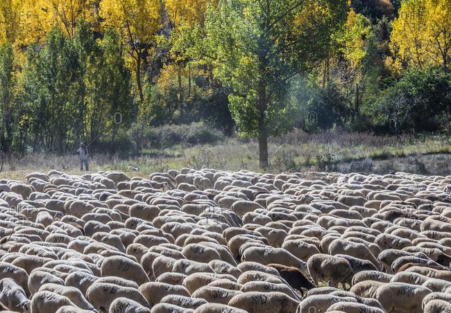 Spain - October 16, 2018: Spain, autonomous community of Aragon, Province of Teruel, Sierra de Albarracin Comarca, Sierra de Albarracin, Montes Universales National reserve, herd of sheep