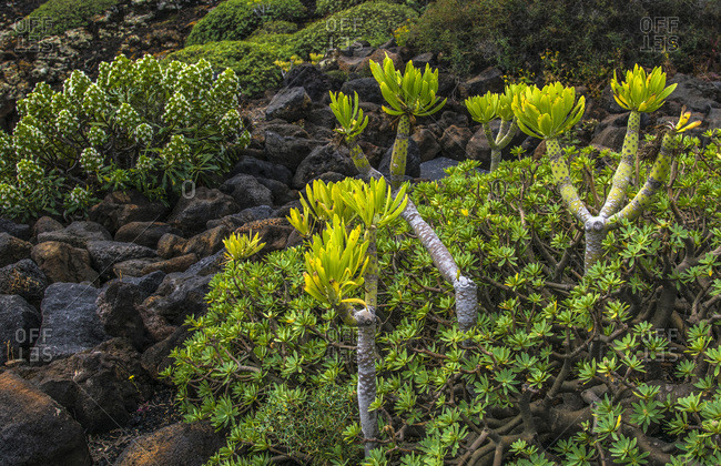 Spain, Canary Islands, Lanzarote Island, seaside vegetation