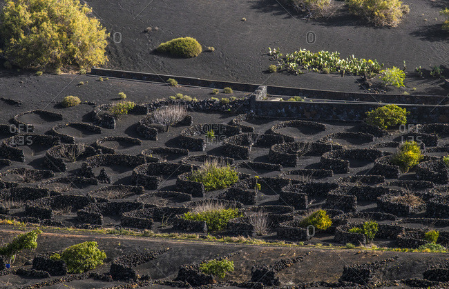 Spain, Canary Islands, Lanzarote Island, viticulture in the volcanic valley of the Geria