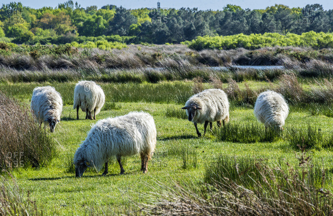 France, Arcachon Bay, Teich ornithological park, flock of sheep grazing in the pasture