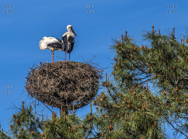 France, Arcachon Bay, Teich ornithological park, couple of white stork on their nest perched in a pine tree