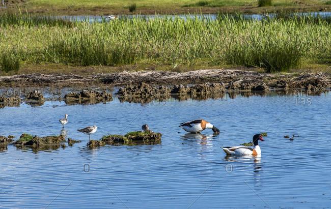 France, Arcachon Bay, Teich ornithological park, common shelduck and black-headed gull
