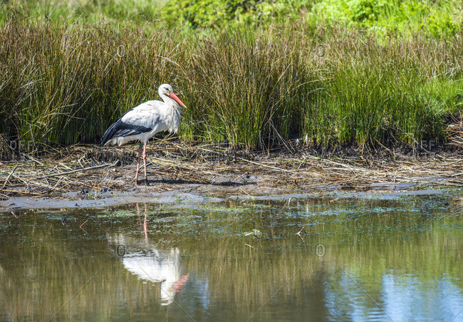 France, Arcachon Bay, Teich ornithological park, white stork
