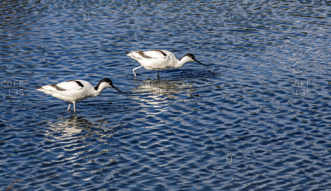 France, Arcachon Bay, Teich ornithological park, two pied avoce, reflection in the water