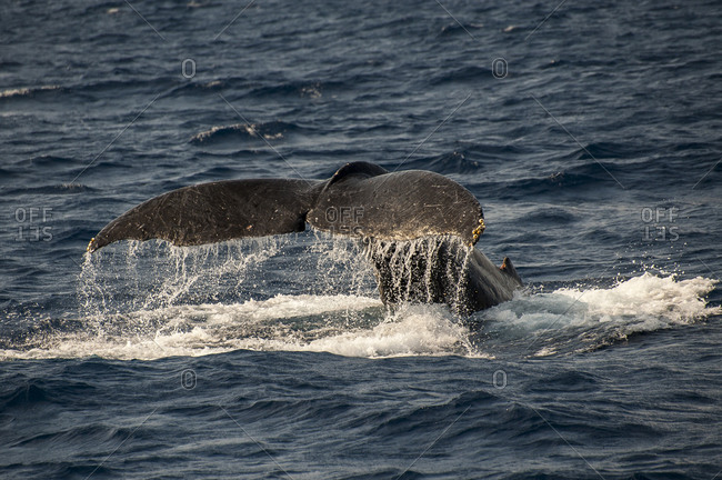 Caudal fin splashing at the occasion of whale watch tour, Okinawa, Japan