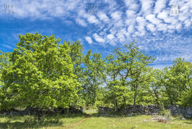France, Lot, Causses regional Natural Park of Quercy, Natural Sensitive Space of Brauhnie, small dry stone wall of a ewes park and downy oak tree