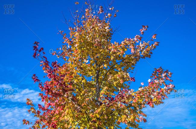 France, Gironde, Liquidambar trees (American sweetgum) in autumn
