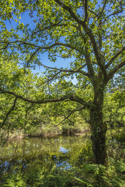 France, Arcachon Bay, oaks and ferns on the bank of the river in the Cheneraie park