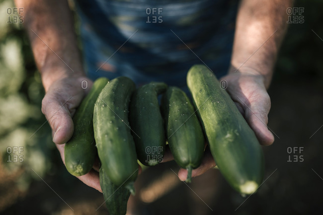 Cropped hand holding freshly picked cucumbers in farm