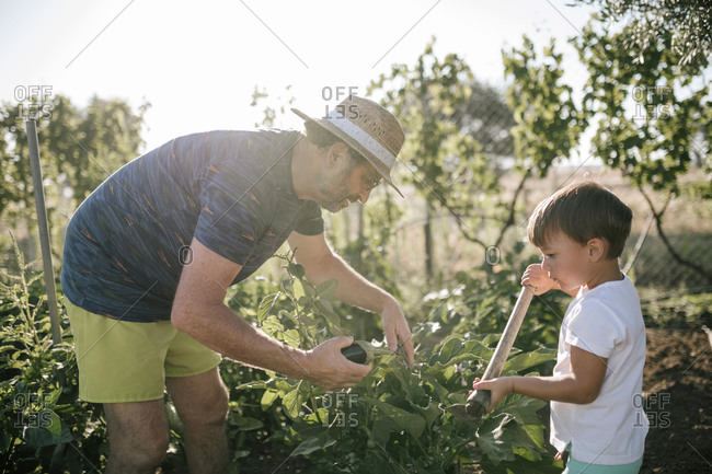 Grandfather and grandson picking eggplants in field