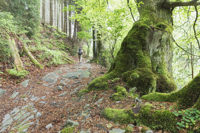 Backpacker hiking in mossy forest of High Fens - Eifel Nature Park