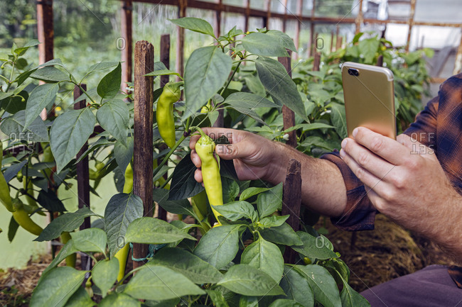 Man photographing fresh chili pepper through smart phone in organic farm