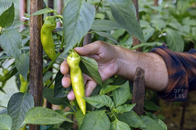 Man holding fresh organic chili pepper grown in farm