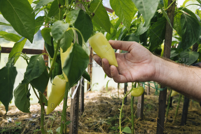 Man holding fresh chili pepper growing in organic farm