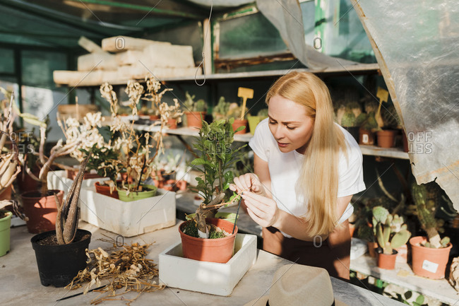 Female owner with blond hair examining potted plant on table in greenhouse