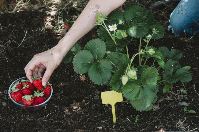 Close-up of woman hand picking strawberries from plants in community garden