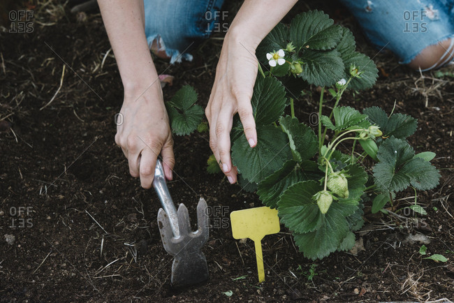 Close-up of woman hands digging in dirt at garden
