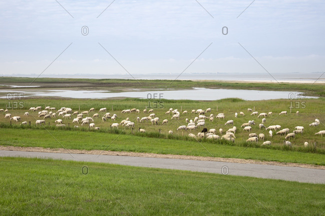 Germany- Lower Saxony- Krummhorn- Flock of sheep grazing in Wadden Sea National Parks