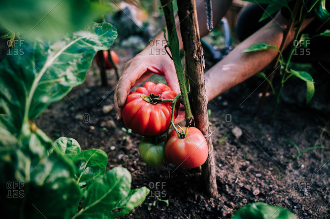 Crop anonymous gardener picking ripe red eco tomatoes from green plant while harvesting vegetables in garden in summer day