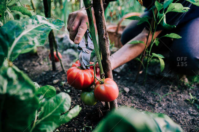 From above of crop anonymous gardener with gardening scissors picking ripe red tomatoes from green bush