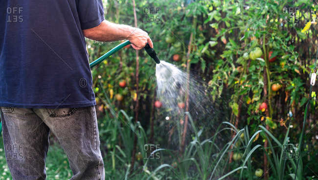 Cropped unrecognizable farmer watering colorful tomato bushes using hose while standing between tree twigs in the garden