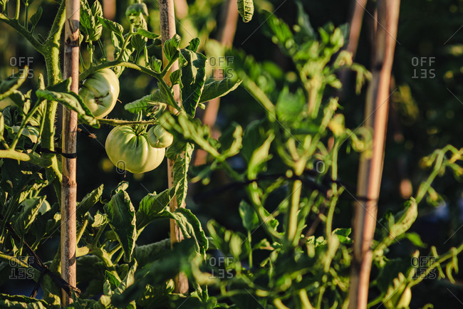 Unripe green tomatoes on branches of tomato plants growing on garden bed