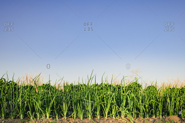 Lush green onion plants growing in soil on garden bed under cloudless blue sky in summer day
