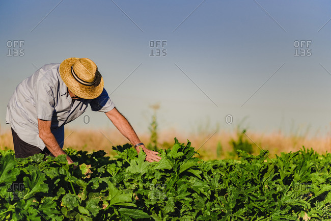 Side view of male farmer in hat working in field picking ripe vegetables in summer day in countryside