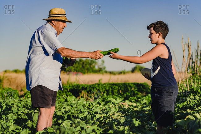 Side view of senior man in straw hat giving ripe green zucchini to grandson while harvesting vegetables together in sunny summer day in countryside