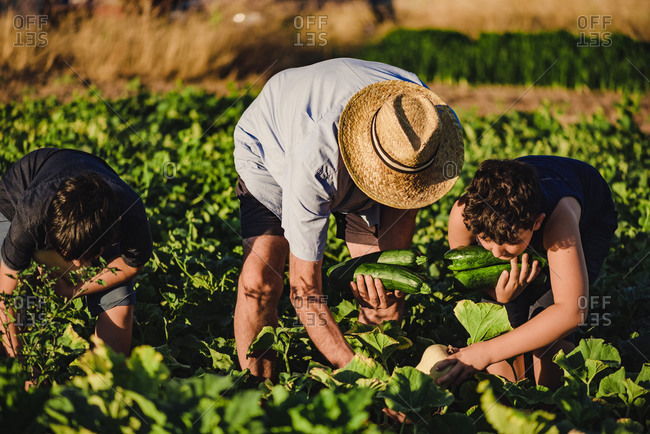 Unrecognizable male farmer in hat working in field with kids and together picking ripe zucchini in summer day in countryside