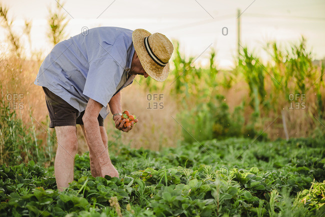 Side view of aged male in casual clothes and straw hat picking ripe red strawberry while spending summer day in rural garden in countryside