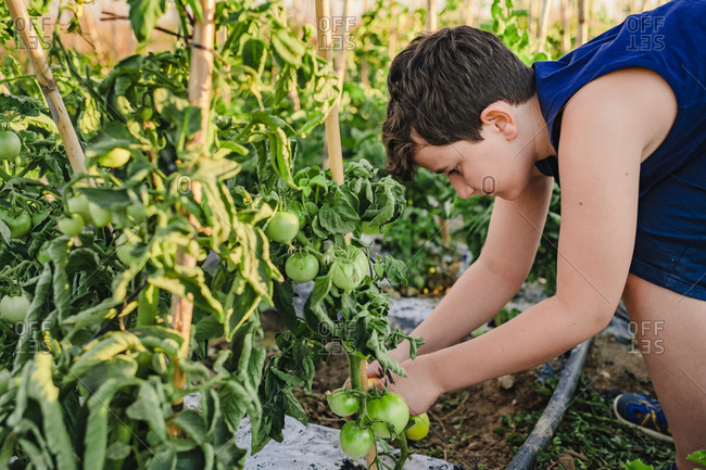Side view of preteen boy tying up tomato bushes while working in vegetable garden during summer holidays