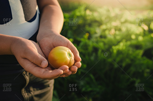 Crop unrecognizable child demonstrating freshly harvested yellow tomato while standing in vegetable garden in summer day in countryside