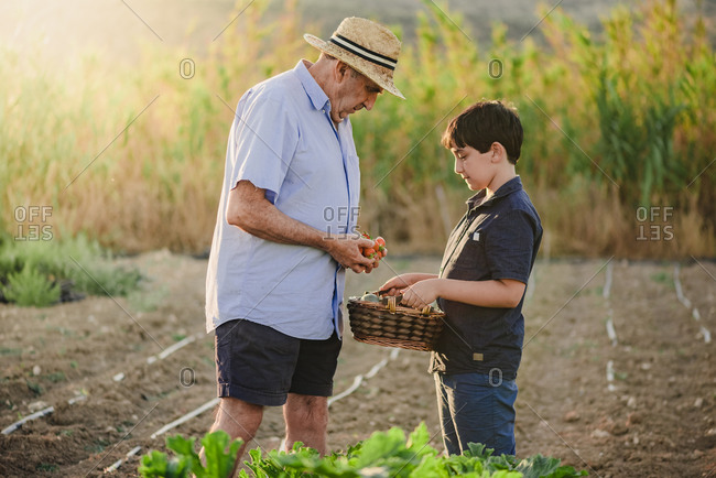 Side view of aged male putting freshly harvested ripe strawberry into basket held by grandson while working together in garden in summer day in countryside