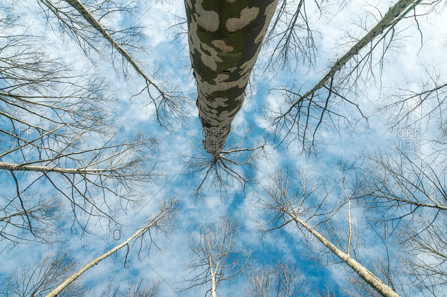 From below of amazing scenery of leafless trees growing in forest under blue cloudy sky