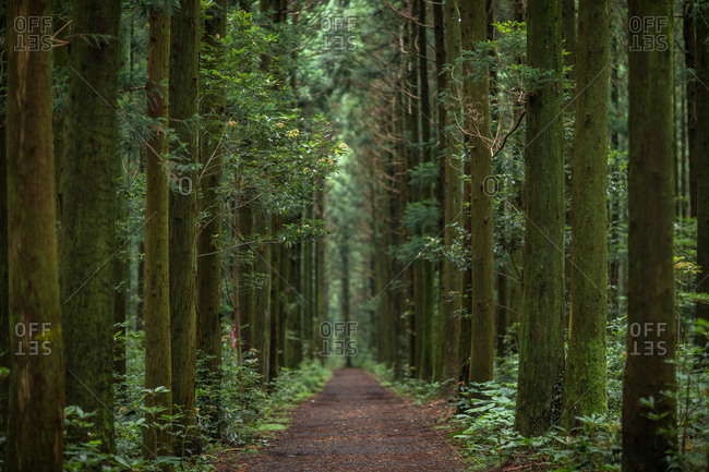 Dense forest on Hallasan Mountain, Jeju Island, Korea