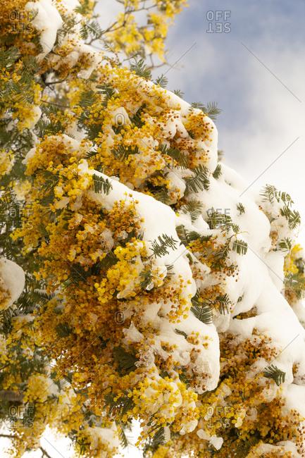 Australian wattle plant covered in snow